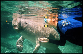 Dive or snorkel with the Manatees